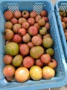 これからもっと赤くなるトマト