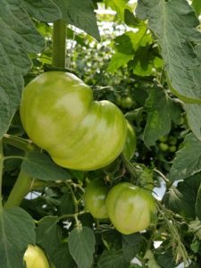 これから色付くみずみずしいトマト